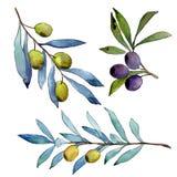 Di olivo in uno stile dell'acquerello isolato Immagine Stock