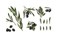 Di olivo in uno stile dell'acquerello isolato Foglie dipinte a mano disegnate a mano Filiali di di olivo Oliva dell'acquerello illustrazione di stock