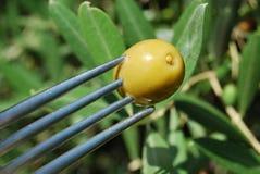 Di olivo verde ed oliva Fotografia Stock