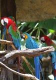 Di pappagalli colorati multi luminosi si siedono su un ramo Fotografia Stock Libera da Diritti