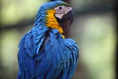 Di pappagalli colorati multi luminosi si siedono su un ramo Immagine Stock Libera da Diritti
