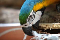 Di pappagalli colorati multi luminosi si siedono su un ramo Fotografie Stock Libere da Diritti