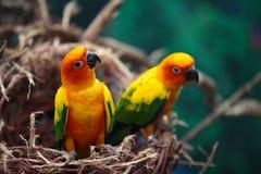 Di pappagalli colorati multi luminosi si siedono su un ramo Immagine Stock