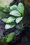 ` di Patricia del ` di aglaonema, serie dell'elite, sempreverde cinese, pianta da appartamento immagini stock