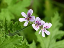 di pelargonium profumato di Rosa fotografie stock