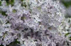 Di piccoli fiori lilla immagine stock