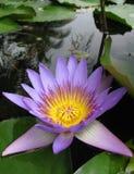 Di porpora stellata del nymphaea del fiore waterlilly fotografia stock libera da diritti