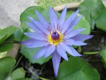 Di porpora un fiore waterlily Fotografia Stock Libera da Diritti