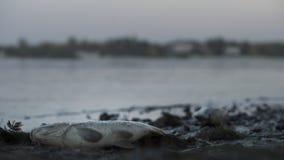 Di puzzo pesce completamente che si trova sulla sponda del fiume, rifiuto tossico che nuoce alla natura, avvelenamento dell'acqua fotografie stock