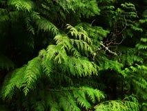 di ramoscello coperto di lichene con i rami di tuja gigante dell'America Settentrionale Fotografia Stock