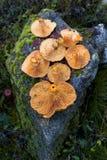 Di recente funghi del picchetto Fotografia Stock