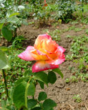 Di Roma Rose de piscine découverte Photos stock
