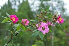Di rosa selvaggio e bombo. Fotografia Stock