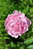 ` Di Sarah Bernhardt del ` di lactiflora di Paeonia Immagini Stock Libere da Diritti