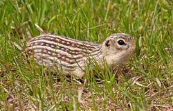 Di scoiattolo a terra foderato di tredici Fotografie Stock Libere da Diritti