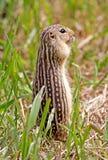 Di scoiattolo a terra foderato di tredici Fotografia Stock