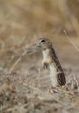 di scoiattolo a terra foderato di tredici, tridecemlineatus dello Spermophilus Fotografie Stock