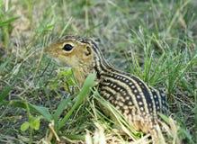 di scoiattolo a terra foderato di tredici nell'erba Fotografie Stock