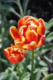 ` di Silesta del ` del Tulipa Fotografia Stock