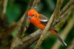 Di Tanager colorato di fiamma dell'uccello arancio, bidentata del Piranga, Savegre, Costa Rica fotografie stock libere da diritti