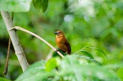 di Tanager foderato Bianco, uccello femminile, Tobago Fotografia Stock