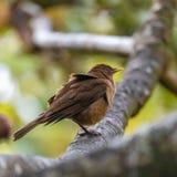 di tordo colorato d'argilla, uccello fotografie stock libere da diritti