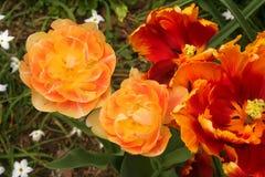 Di tulipani colorati multi drammatici del pappagallo e del doppio emettono luce in un giardino della molla Immagini Stock Libere da Diritti