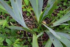 Di verde foglie daylilly fotografia stock libera da diritti