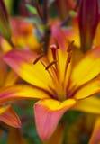 Dia agradável da abstração lilly Fotografia de Stock Royalty Free