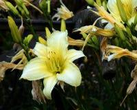 Dia amarelo lilly Fotografia de Stock Royalty Free