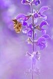 Dia Boloria бабочки на цветке с красивой фиолетовой предпосылкой в живой природе Macrophotography естественного света и цвета Bol Стоковое Изображение