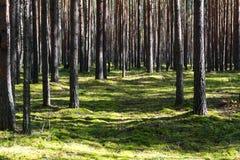 Dia calmo na floresta do verde da mola Imagem de Stock