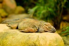 Dia de Dragon Lizard foto de stock