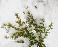Dia de inverno do arbusto do buxo na neve Imagem de Stock Royalty Free