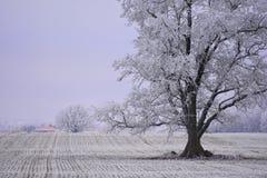 Dia de inverno enevoado Árvores em um campo Fotos de Stock