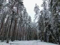 Dia de inverno na floresta Fotografia de Stock