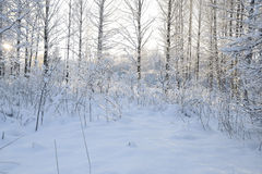 Dia de inverno na floresta Foto de Stock Royalty Free