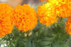Dia DE los Muertos Marigolds stock foto's