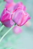 Dia de mães Tulip Card - fotos conservadas em estoque da natureza Foto de Stock