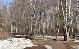 Dia de mola em um birchwood de um dos parques da cidade de Moscou Foto de Stock
