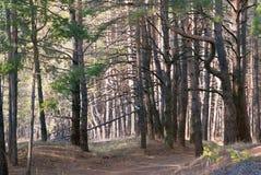 Dia de mola em uma floresta conífera imagens de stock royalty free