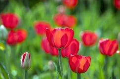 Dia de mola ensolarado das tulipas vermelhas Imagens de Stock