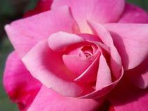 Dia de Rosa Fotos de Stock
