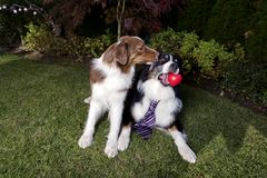 Dia de Valentim animal Sunny Australian Shepherd de Paw Laying Garden Couple Happy da pedigree do animal de estimação do coração  fotografia de stock royalty free