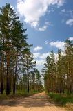 Dia de verão na floresta do pinho Imagens de Stock