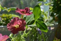 Dia de verão no jardim acolhedor no balcão Flores bonitas do close up do petúnia e das folhas do trevo imagens de stock royalty free