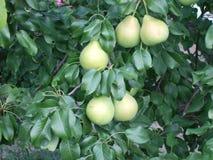 Dia de verão no jardim As peras suculentas amadurecem na árvore imagens de stock royalty free