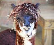 Dia do cabelo de Baid! Imagem de Stock Royalty Free