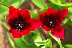 Dia do ` s do Valentim, par, conceito do amor Tulipas vermelhas da flor da mola Foto de Stock Royalty Free