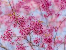 Dia do Valentim Flores cor-de-rosa de florescência bonitas Fotografia de Stock